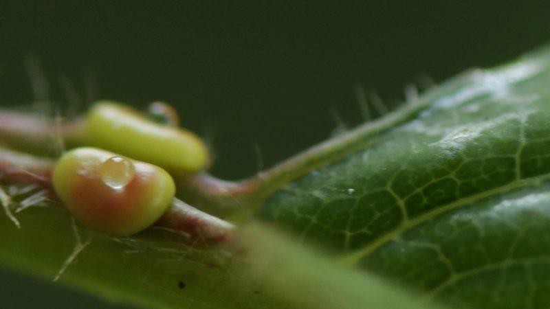 Foto von extrafloralen Nektarien an Wildkirschblatt